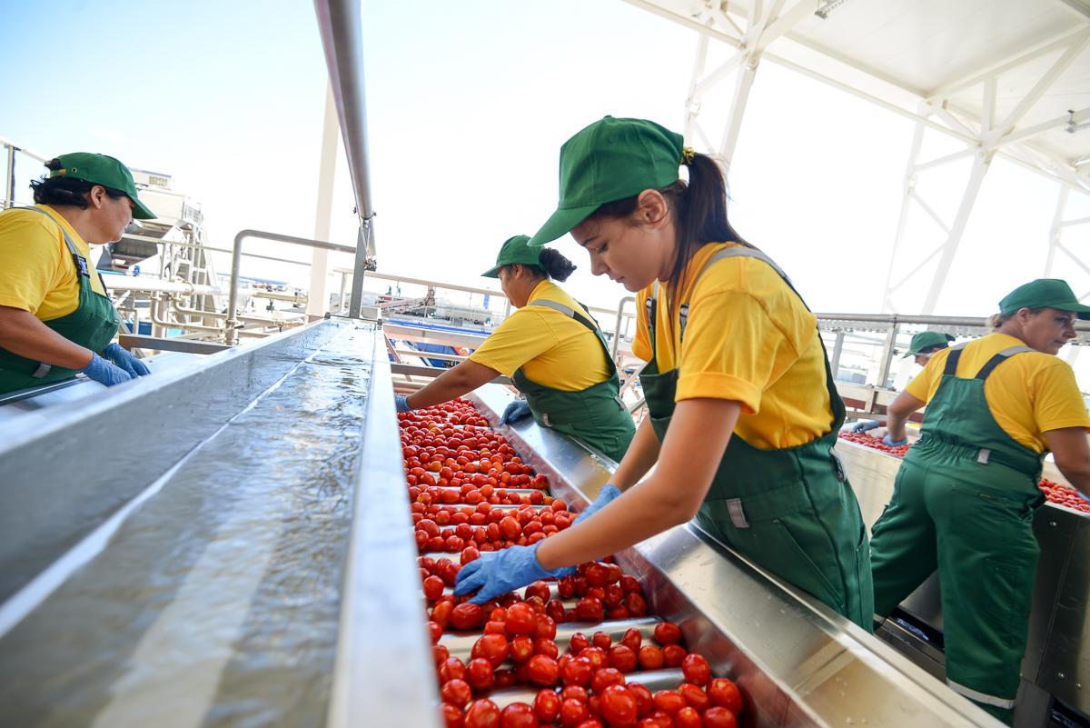Переработка помидоров на производстве