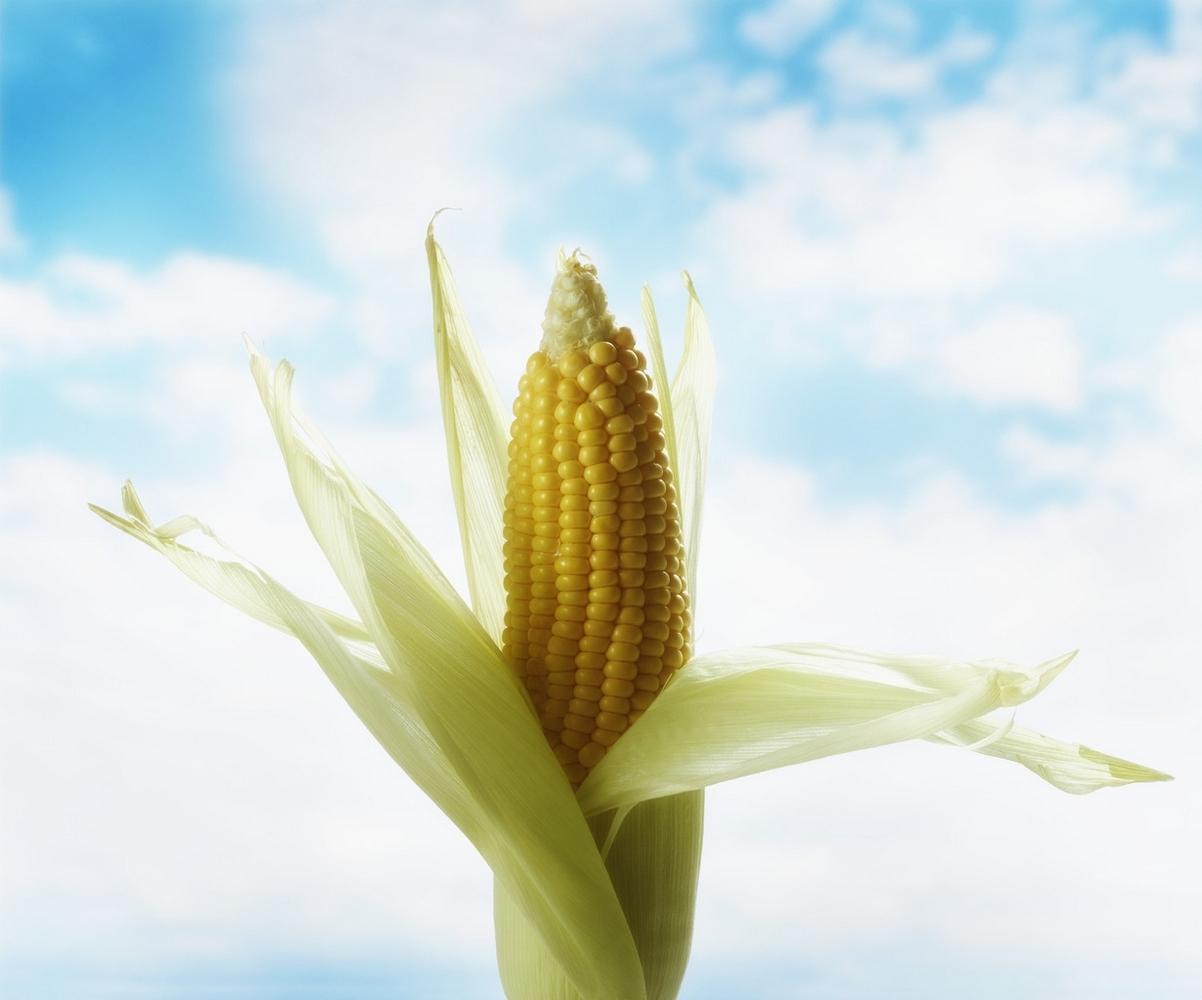 кукуруза светлая